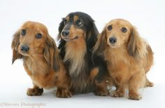 Three miniature longhaired Dachshunds standing