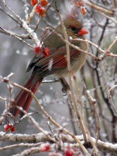 female cardinal in Iowa snowstorm