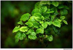 Al Tè verde viene ascritta anche un'altra proprietà terapeutica di grande interesse:quella #dimagrante; i principi attivi che giocano un ruolo primario nelle proprietà dimagranti del #TeVerde sono legati alle metilxantine (caffeina, teobromina, teofillina) che stimolano la #lipolisi favorendo la mobilitazione e l'ossidazione dei #grassi del tessuto adiposo favorendo così la perdita di #peso ed accelerando il #metabolismo. Possiedono inoltre proprietà anoressizzanti. #theverde #bionotizie