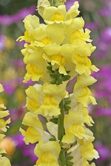 Antirrhinum 'Canary Bird'. excellent vigor. Providing months of deep yellow flowers on strong stems that are great for cutting, this lovely snap grows to 3' in height (probably not more than one foot wide.) Did you know that in mild climates snapdragons often live over as perennials?