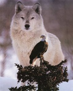 The eagle and the wolf