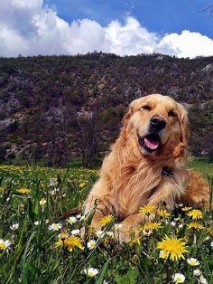 Lovely Golden Retriever