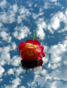La Rose de Magritte    <3 {I miss you Beloved Friend Maurice*Looking forward to seeing you again in {{{HEAVENLY PLACES}}}*Always in {{{JESUS}}}*Amen