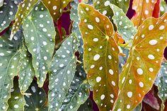 Begonia Leaves
