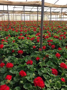 Red geraniums-can't wait until it's warm enough to plant mine!