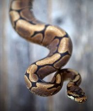 ball python, Great pets actually! they are highly recomended as your first snake, if of course you are interested in owning one. we had a garter snake for a few years and he was the coolest thing ever! but I would have liked a ball python if it had been up to me to chose.