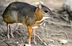 Le chevrotain Décrit pour la première fois en 1864 qui ressemble à s'y méprendre à un chevreuil… mais il ne mesure qu'un pied de haut! Ses petites cornes ressemblent davantage à des crocs. Pas pour rien qu'on l'appelle aussi mouse-deer en anglais, soit le chevreuil-souris. Cet animal solitaire, végétarien et nocturne vit entre l'Asie et l'Afrique, et se cache souvent dans les bosquets bien fournis sur les rives de rivières. En cas de présence de prédateurs, il se réfugie dans l'eau.