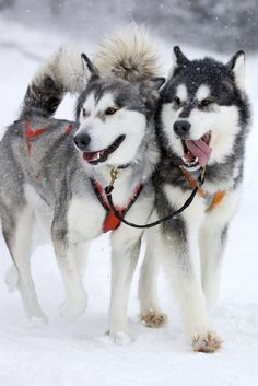 """Siberian Husky the """"Snow Dog"""" has it's origin in Siberia.A famous tribe named """"Chukchi""""in north-eastern Siberia has used Siberian Huskies as working dogs for a long time.The were mostly used for Herding purposes pulling carts people used them to travel and also as guard dogs."""