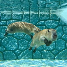 Capybara underwater