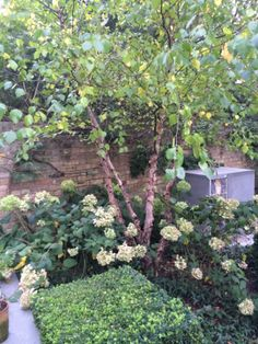 We added the Hydrangeas 'Limelight' and 'Annabelle' to create a more interesting and extended flowering season Notting Hill, Back Gardens, Hydrangeas, More Fun, Garden Ideas, Gardening, Seasons, Create, Green