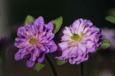 Hepatica japonica Senren Sarete