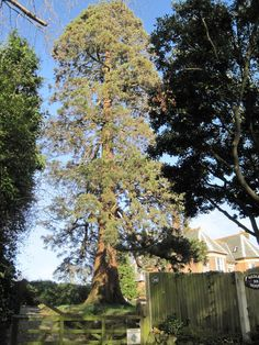 Pine Tree in Garden off Sedlescombe Road North