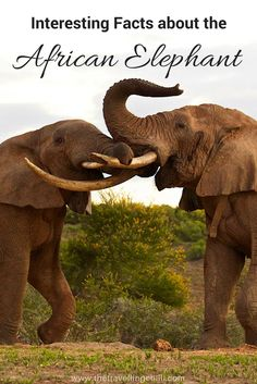 Interesting facts about the African Elephant - South Africa - Botswana - Namibia