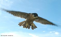 Peregrine falcons (Falco peregrinus) are one of, if not the, fastest animals in the world. They are believed to achieve speeds of over 200kph (124mph) when plunging from the sky after prey. This iconic bird of prey is also one of the world's most widely distributed birds, found on every continent except Antarctica.
