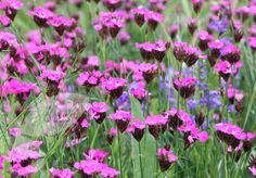dianthus carthusianorum - Google Search