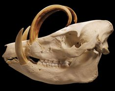 animal skulls - Pesquisa Google