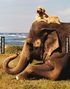 Seriously, this is a PICTURE OF A GOLDEN RETRIEVER ON TOP OF AN ELEPHANT.