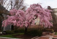 Weeping cherry tree in the Smithsonian's Enid Haupt Garden, Washington, D.C.  (Photo by John Gibbons)