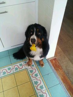 Guilty bernese mountain dog trying to look innocent