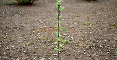 O lucrare EXTREM de importantă la pomi, în primul an de la plantare | Paradis Verde Paradis, Fruit Trees, Grape Vines, Diy And Crafts, Gardening, Home, Agriculture, Diy, Green