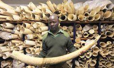 Why has Theresa May ditched a pledge to ban ivory trading? » Focusing on Wildlife > An elephant is killed every 15 minutes for its ivory' … part of Zimbabwe's ivory stockpile. Photograph: Tsvangirayi Mukwazhi/AP