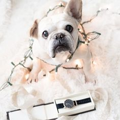 Wrapping gifts and decorating at the same time is proving to be difficult.... #ionlyhavetwopaws 🐾😕 *Get an additional 15% off any @danielwellington purchase at www.danielwellington.com with our special code 'YOGAFRENCHIE15' 🎁🎀💛* #dwforeveryone #danielwellington #frenchie