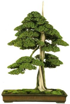 bonsaitoday:  Needle JuniperJuniperus Rigida, Bonsai Today #81, Cover