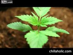 ▶ The most amazing cannabis grow timelapse - YouTube