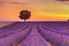 lavender fields of Provence, France