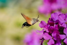 - * Hummingbird Hawk-moth * - Its long proboscis and its hovering behavior, accompanied by an audible humming noise, make it look remarkably like a hummingbird while feeding on flowers -