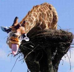 Funny Crazy Giraffe Joke Pictures | Funny Joke Pictures
