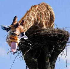 Funny Crazy Giraffe Joke Pictures | Funny Joke Pictures