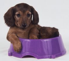 Dachshund Puppies Pictures