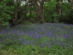 Bluebells at Northycote Farm, May 2013