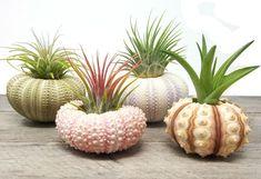 4 Pcs Sea Urchin Air Plant Lot / Kit Includes 4 Plants and 4 shells + Kraft Gift Box