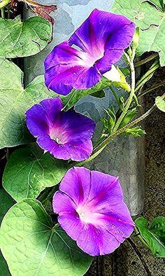 Hottest Cost-Free Exotic Flowers with good morning Popular Area plants plus veg. - Hottest Cost-Free Exotic Flowers with good morning Popular Area plants plus vegetation could be a - Flowers Nature, Exotic Flowers, Purple Flowers, Beautiful Flowers, Morning Glory Vine, Morning Glory Flowers, Morning Glories, September Birth Flower, Volubilis