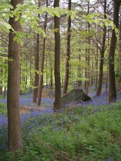 Otley, fresh leaves and bluebells.