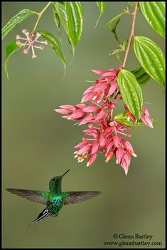 The green thorntail (Discosura conversii) is a small hummingbird that is a resident breeder from Costa Rica to western Ecuador. It occurs at middle elevations from 700–1400 m but may descend lower early in the wet season. In Costa Rica and Panama it is confined to the Caribbean slopes.