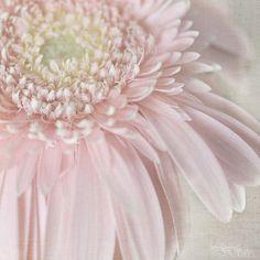 gerbera… by Kim Klassen Pretty Pastel, Pastel Pink, Pink Flowers, Beautiful Flowers, Pink Petals, Beautiful Beautiful, Couleur Rose Pale, Pink Gerbera, Pink Daisy