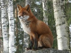 SITTING RED FOX - Dogs & Animals Background Wallpapers on Desktop ...