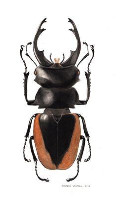 Lucanidae. Eduardo Westphal. Aguada de nanquim, aquarela e extrato de nogueira lucanidae-westphal4.jpg (450×771)