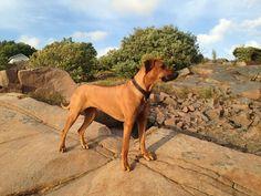 Mini, rhodesian ridgeback, lion dog