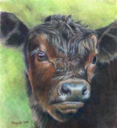 angus calf by Dayne Thomas