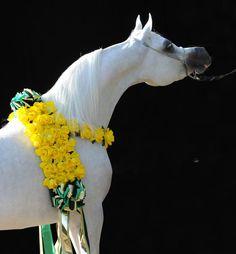 Shanghai EA. WH Justice {Magnum Psyche x Vona-Sher-Reana by El Sher-Mann} x Salymah EA {Khidar x Libanon Azadika by Om El Azadik} 2008 grey stallion. Owned & Bred by Equus Arabians, Spain.