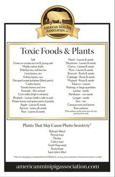 Food and Plants toxic to mini pigs