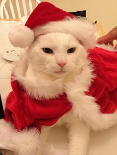 Cute Santa - Tap the link now to see all of our cool cat collections! Christmas Animals, Christmas Cats, I Love Cats, Cool Cats, Merry Christmas Family, Turkish Angora Cat, Paws And Claws, Cat Hat, Pet Costumes