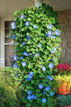 Heavenly Blue Morning Glories..put in a hanging pot, and they will grow down wards..will do this for this summer. (Morning glories can be invasive, be cautious where you plant them!)