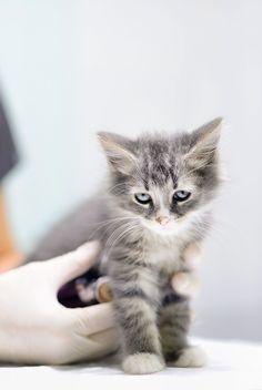Статья о том, нужно ли делать прививки котятам