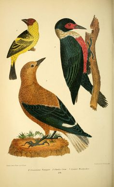 v. 1 - American ornithology; or, The natural history of the birds of the United States, - Biodiversity Heritage Library