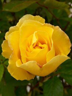 Жёлтая роза🌹